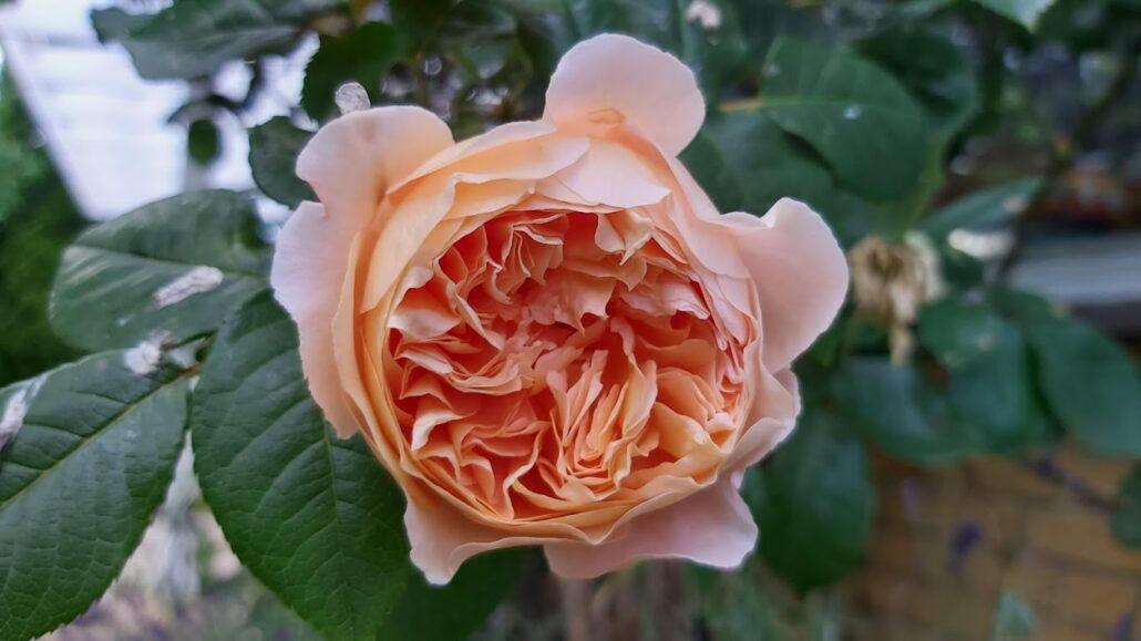 Sankt Hans midsommerkransens blomster
